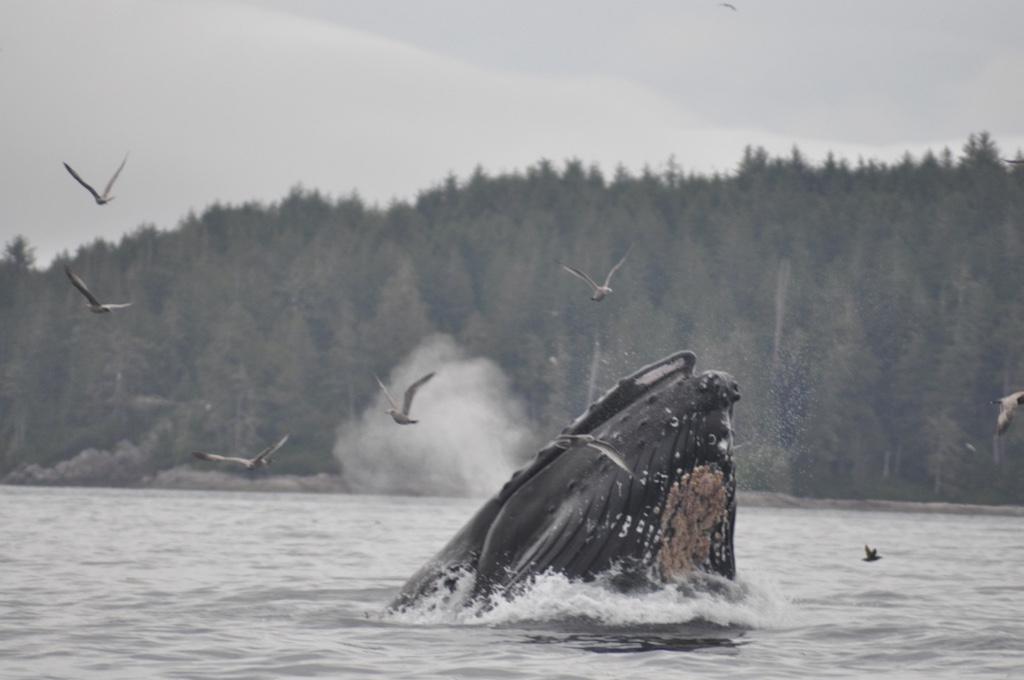 bultrugwalvis aan het lunge feeden